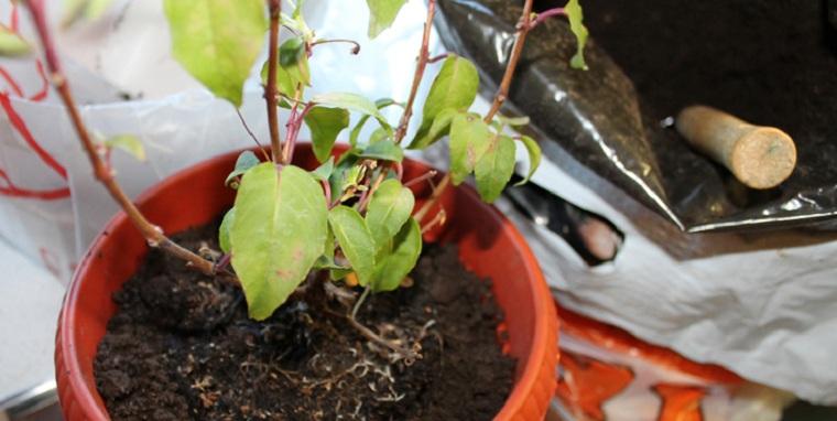 Фуксия выращивание из семян когда сажать 22