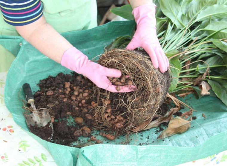 Очищаем растение от лишнего грунта