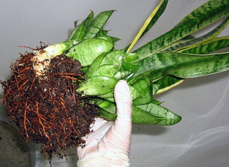 Посадка растения сансевиерия
