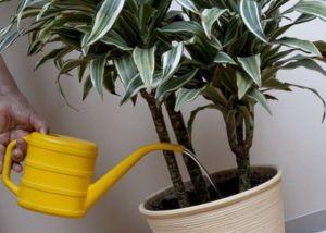 полив растения драцена