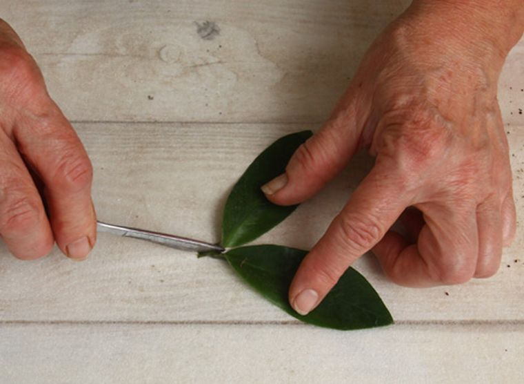 Разрезаем листья замиокулькаса