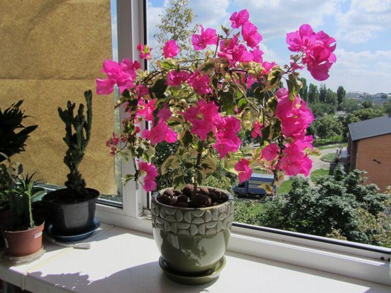 Красавица бугенвиллия