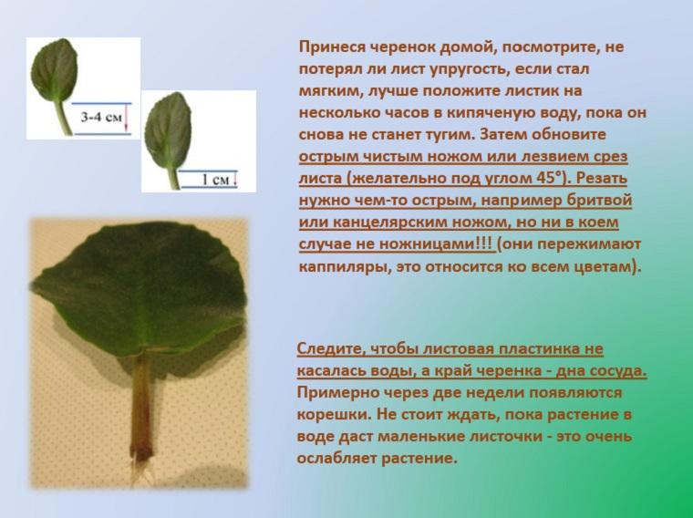 Размножение фиалок листком