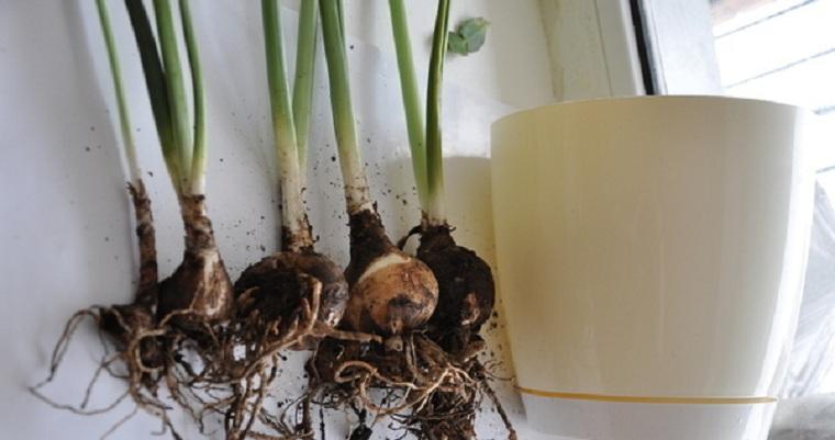 Как сажать цветок эухарис 18