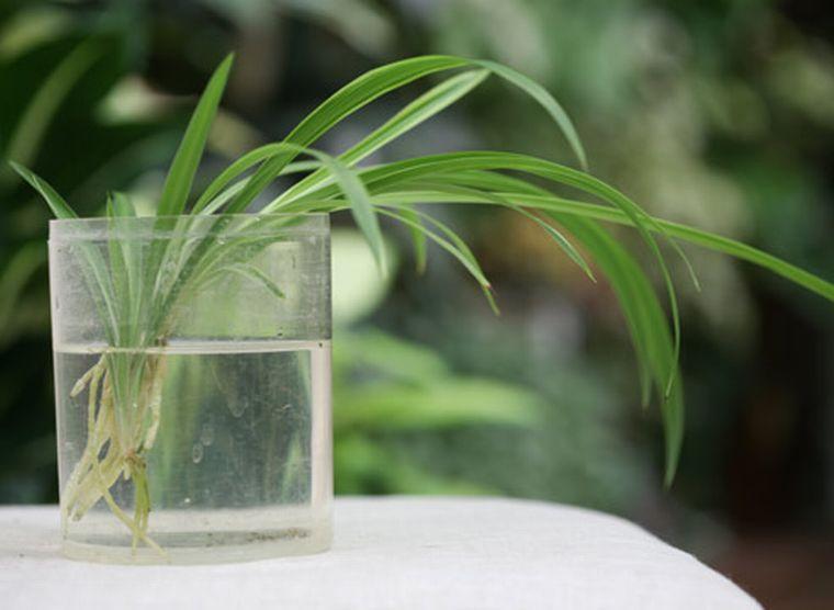 хлорофитум пустил корни