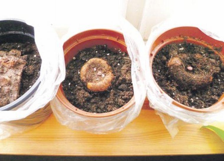 Клубневые бегонии размножение в домашних условиях