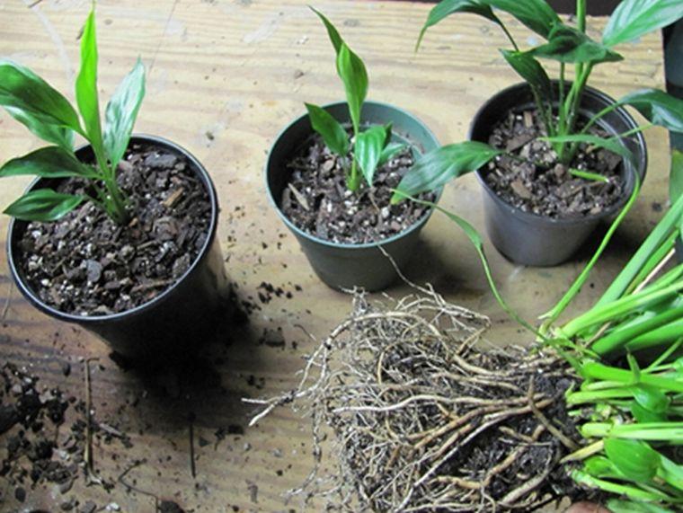 Посадим отростки спатифиллума