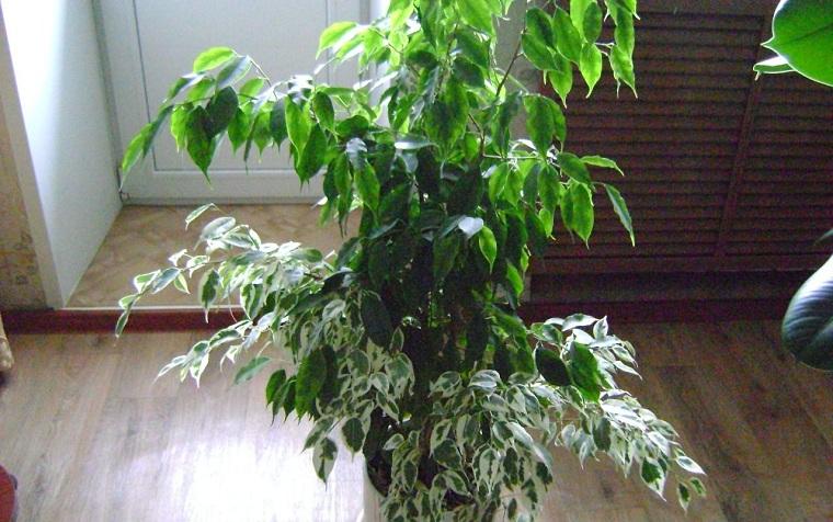 Фикус в домашних условиях почему опадают листья 668
