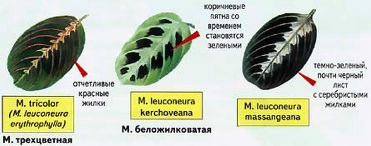 Разновидности маранты