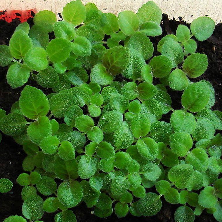 как вырасти глоксинию из семян