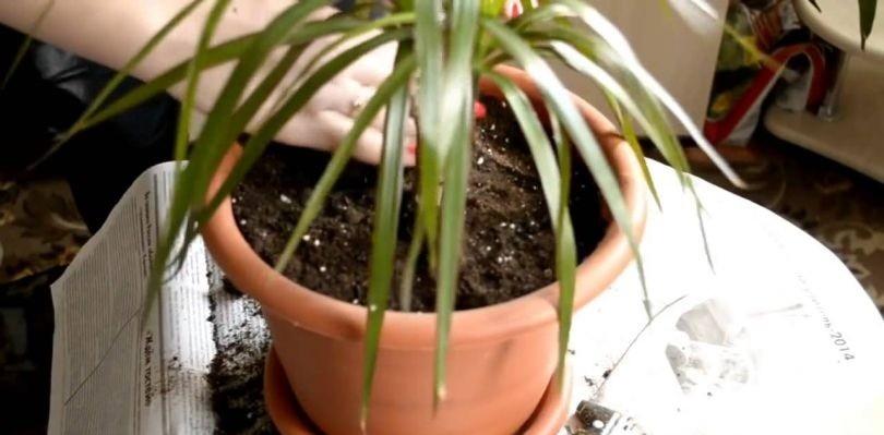 Как ухаживать за цветами в домашних условиях драценой