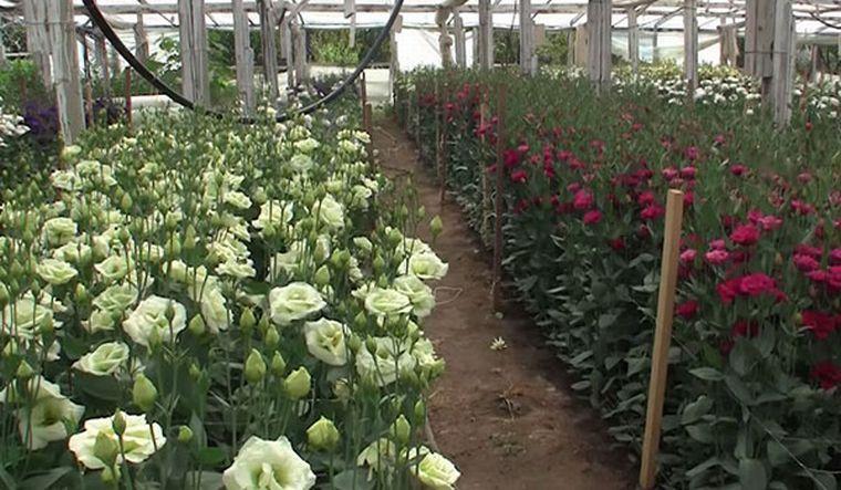 Секреты выращивания эустомы в теплице на срезку