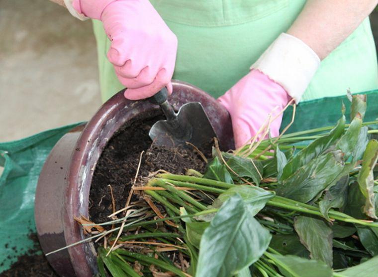 Вынимаем растение из горшка