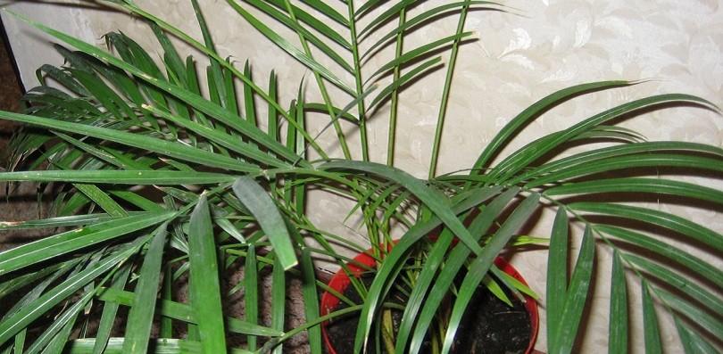 хамедорея пальма